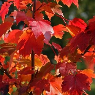 The stunning autumn foliage of Acer rubrum October Glory