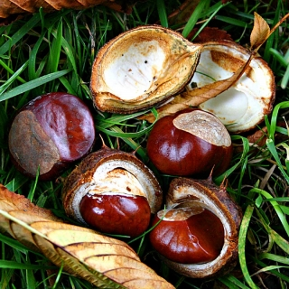 The conker from Horse Chestnut