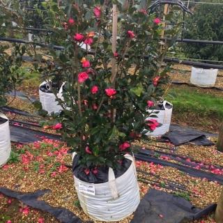 Single specimen of Camellia sasanqua Kanjiro in flower