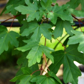 Foliage of Acer campestre multi-stem