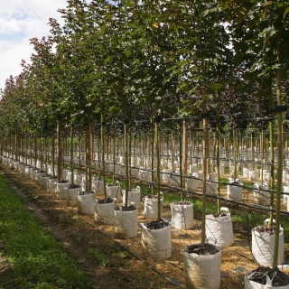 Row of Acer platanoides Deborah at barcham trees