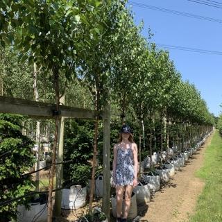 Betula albosinensis Fascination