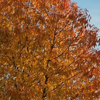 Prunus avium in autumn colour