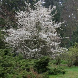 The profuse white flowers of  Amelanchier Ballerina