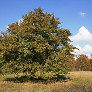 mature  Acer pseudoplatanus