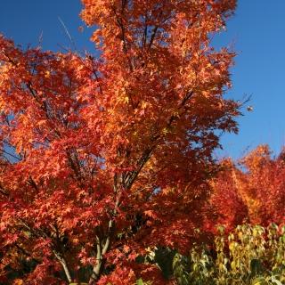 Acer palmatum Osakazuki multi-stem in autumn foliage