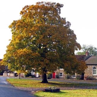 Acer pseudoplatanus Negenia on a village green