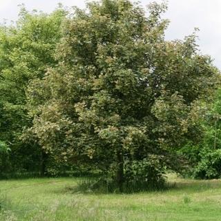 Mature Acer pseudoplatanus Leopoldii