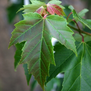 The leaf of  Acer x freemanii Armstrong
