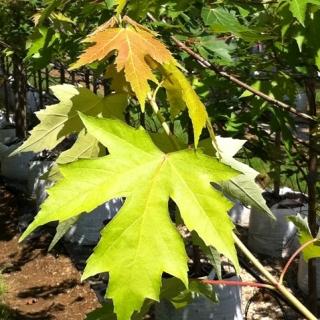 The foliage of  Acer x freemanii Autumn Fantasy