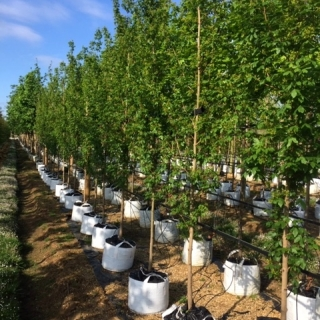Acer campestre Streetwise at barcham trees