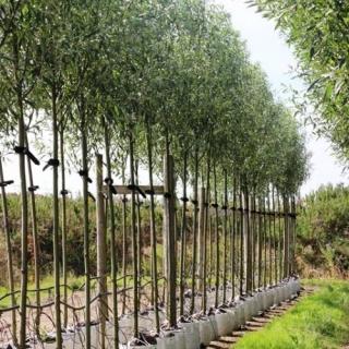 Salix alba Liempde in Summer foliage