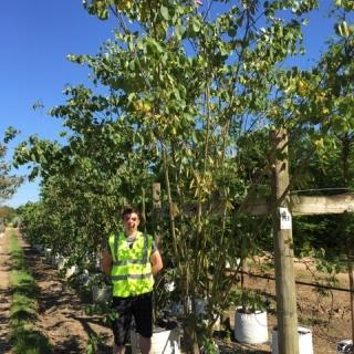 Cercis siliquastrum multi stem at barcahm trees