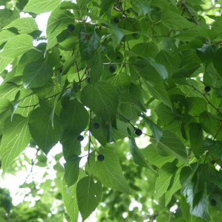 The leaf and small berries of Celtis occidentalis