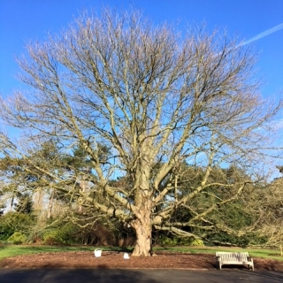 a mature Aesculus indica at kew gardens in winter