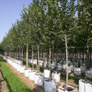Ulmus lobel on the Barcham Trees nursery