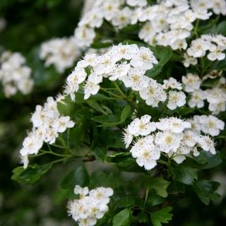 flowers of  Crataegus monogyna