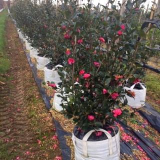 row of Camellia sasanqua Kanjiro at barcham treess