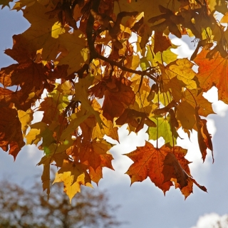 the autumn  leaves of Acer plataniodes olmstea