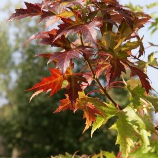 foliage of  Acer saccharinum