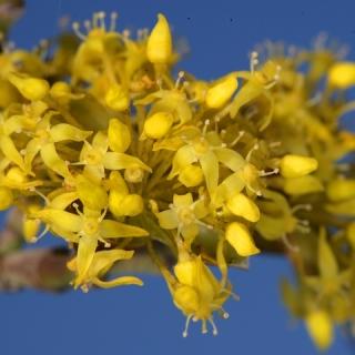 the yellow flowers of Cornus mas