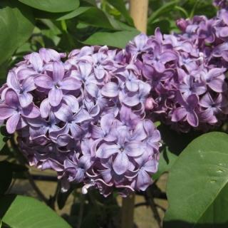 the blue/purple flower of Syringa vulgaris Ruhm von Horstenstein