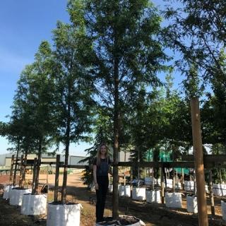 Metasequoia glyptostroboides on the Barcham Trees nursery