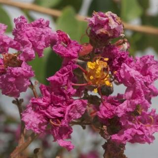 The flowers of Lagerstroemia indica Rosea multi-stem