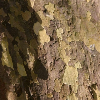 the bark of Platanus hispanica Alphens Globe