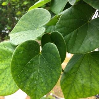 The leaves of Cercis Chinensis Avondale multi-stem