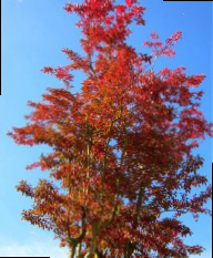 autumn foliage of Lagerstroemia indica Rosea multi-stem