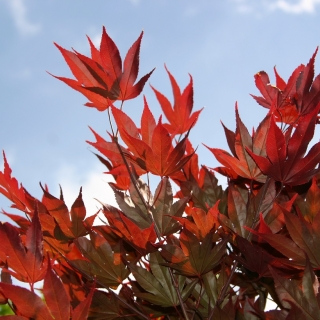 The vibrant foliage of Acer palmatum Fireglow