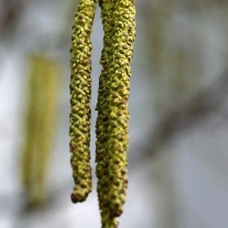 The catkins of   Betula utilis Jacquemontii