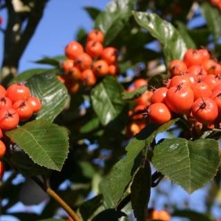 the orange/red berries of  Crataegus x lavalleei
