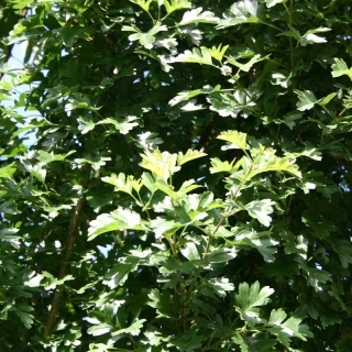 the foliage of Crataegus monogyna Stricta
