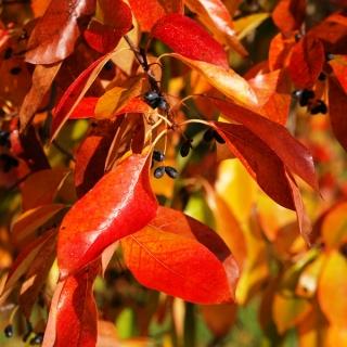 autumn colour of Mature Nyssa Sylvatica