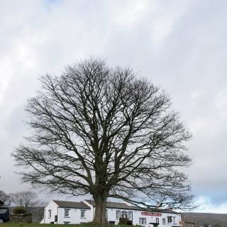 winter shot of mature Acer pseudoplatanus