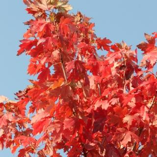Acer x freemanii Autumn Blaze autumn foliage