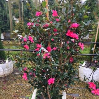 Camellia sasanqua Cleopatra