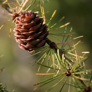 the cone of Larix  x eurolepis