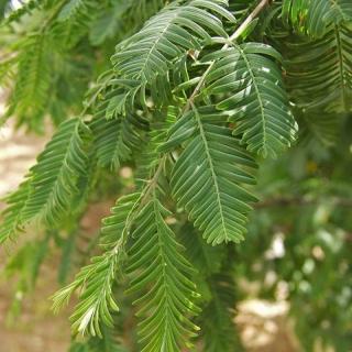 The foliage of Metasequoia glyptostroboides