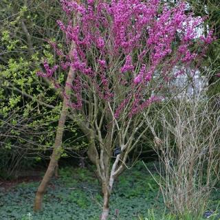 mature Cercis Chinensis Avondale multi-stem in late spring