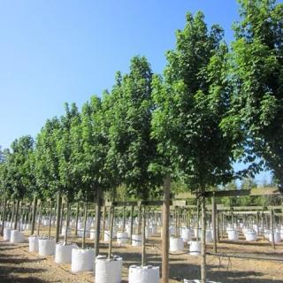 Acer campestre Arends