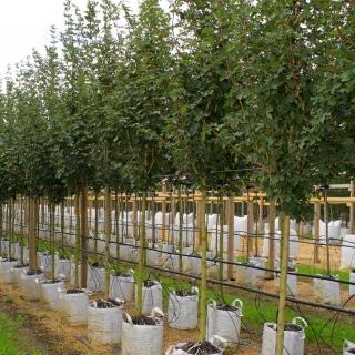 Acer campestre Elegant at barcham trees