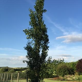 mature Populus tremula Erecta