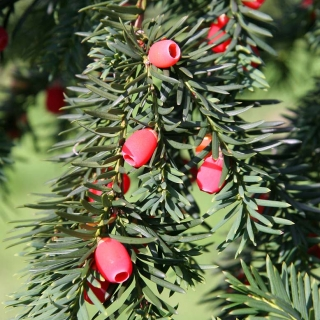 The fruit on Taxus baccata in detail