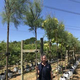 12/14cm girth Tamarix gallica on Barcham Trees nursery to scale