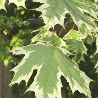 Foliage of Acer platanoides Drummondii