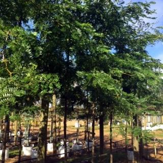 Gleditsia triancanthos inermis at barcham trees
