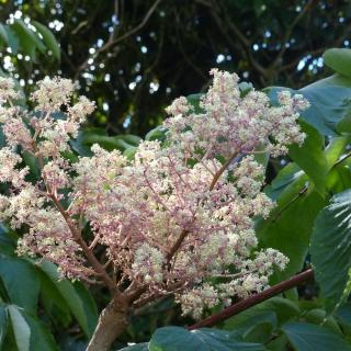 The unusual flower of Aralia elata